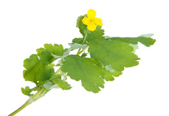 Blooming Celandine isolated on white