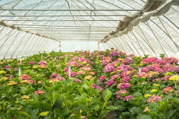 Hydrangea cut flower nursery