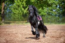Belle course cheval frison