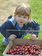 récolter les cerises