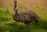 Emu Bird  Full Portrait.