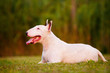 english bull terrier dog lying down