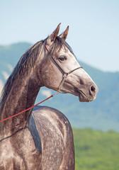 portrait of gray arabian horse