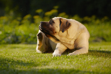 Mastiff in garden