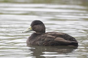 American black duck, Anas rubripes