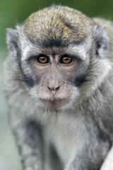 Long-tailed macaque, Macaca fascicularis