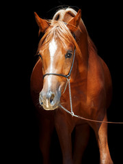 portrait of young arabian colt at black background