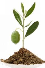 Piantina di ulivo e oliva verde