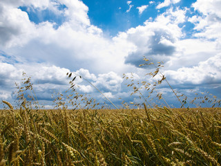 Summer sky and ripened wheat on field