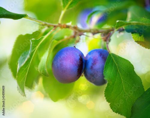 Organic Ripe Plums Growing in orchard