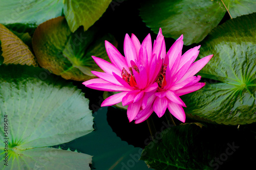Colorful pink water lilly in the lake