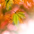 canvas print picture - Herbstlaub - Ahorn