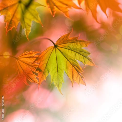 canvas print picture Herbstlaub - Ahorn