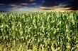 Maispflanzen und schöner Himmel