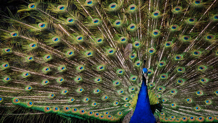 The beauty and splendor of the peacock