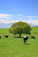 Green tree on a meadow and cow