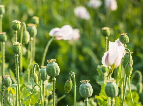 Closeup of seed pods of poppies on a large field