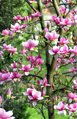Magnolia spring trees in bloom