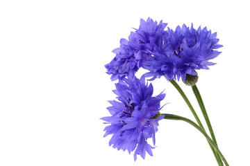 Blue cornflower closeup on white