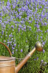 Kupfergießkanne vor Lavendel im Sommer