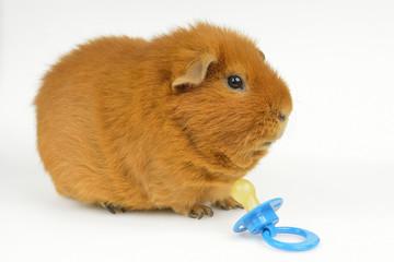 Schnuller-Schweinchen