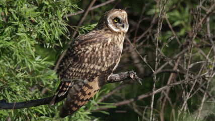 Short-eared Owl sitting on a branch