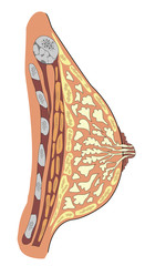 Anatomy of female breast