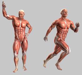 Mensch, anatomisch korrekt mit Muskeln und Sehnen