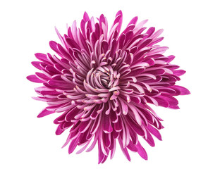 chrysanthemum isolated