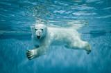 Swimming Thalarctos Maritimus (Ursus maritimus) - Polar bear - Fine Art prints
