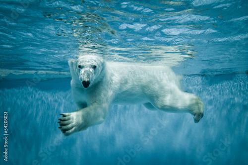 Aluminium Dragen Swimming Thalarctos Maritimus (Ursus maritimus) - Polar bear