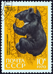 Asiatic black bear (USSR 1970)