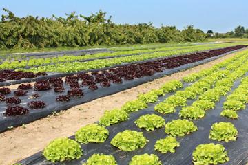 Cultures de salades (paillage plastique)