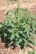 pianta di pomodoro nell'orto