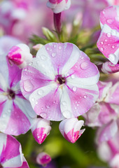Pink and white petunaia flower covered in dew drops
