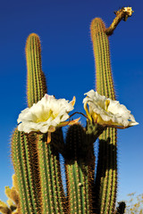 The Flowers of Trichocereus Spachianus Morning View