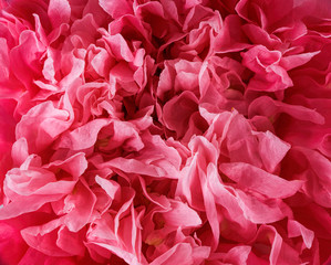 Pink poppy flower petals - background