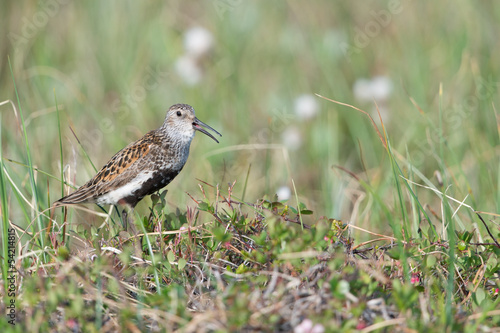 Alpenstrandläufer, Dunlin, Calidris alpina