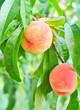 peach on tree