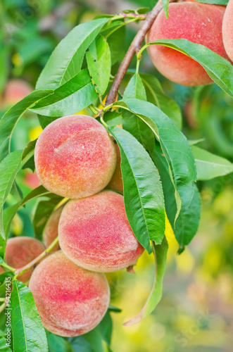 peach on tree