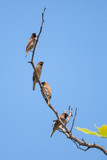Spotted munia (Lochura punctulata) with sky background