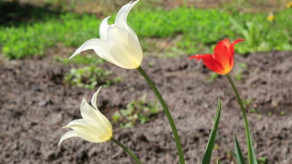 Lily-flowered tulip.