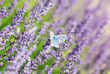 Blue butterfly and lavender flowers