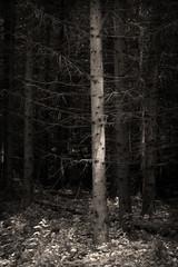 Black and white dark trees