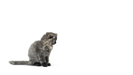 Highland fold kitten sitting and walking