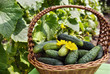 Harvest cucumbers in a basket on the green background