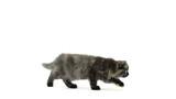 Highland fold kitten sitting, meowing and walking poster