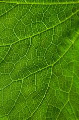 grünes Blatt mit Blattadern durchzogen