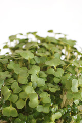 Cress in close up