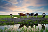 cows by river at sunset
